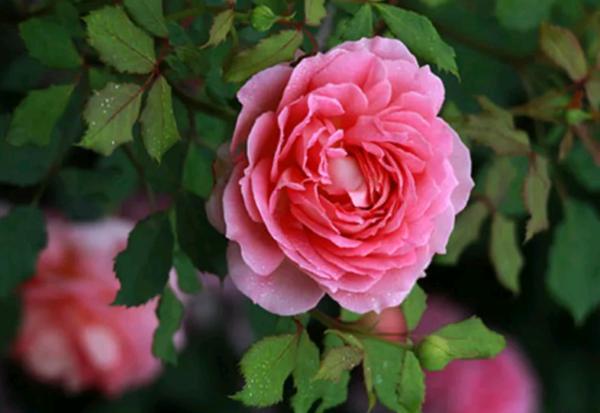Сорта роз: старинные, современные и шрабы
