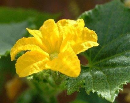 Почему на огурцах один пустоцвет – 6 самых распространенных причин