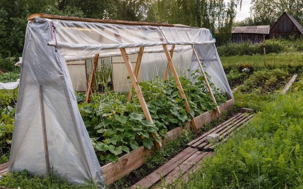 Посадка и выращивание огурцов под укрывным материалом