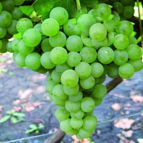 Выращивание винограда цитронный магарача своими руками