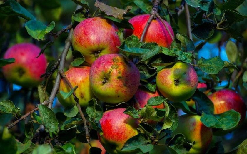 Яблоня бессемянка мичуринская: характеристики, полезные свойства, выращивание и уход за сортом, фото