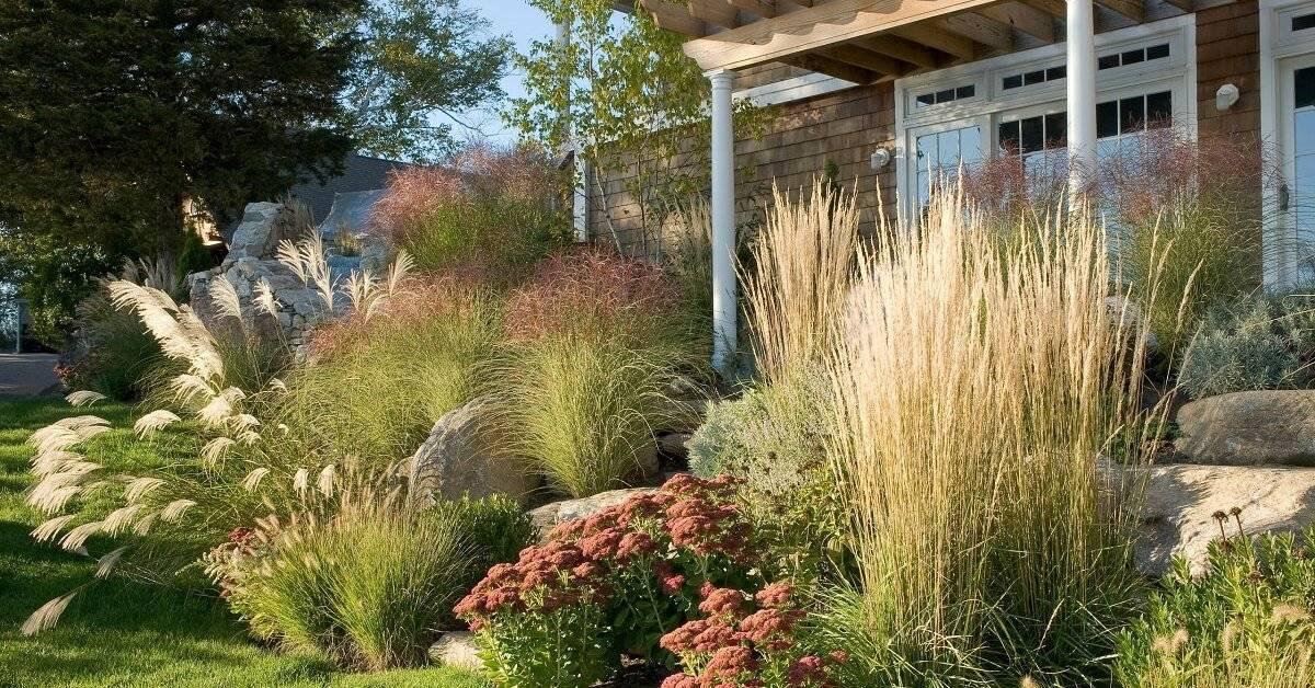 Кортадерия или пампасная трава – самая красивая из трав для участка