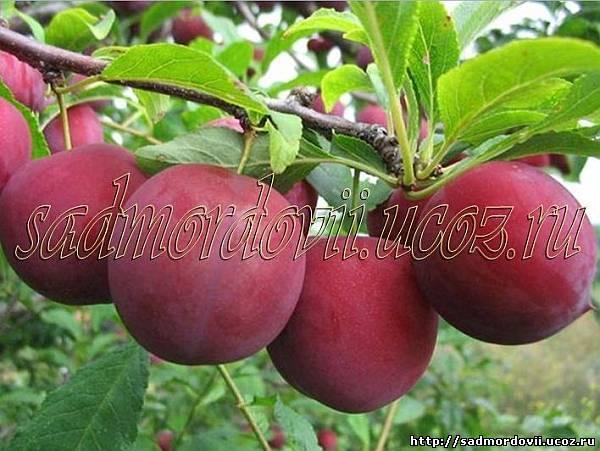Слива красный шар: описание и характеристика сорта, особенности и правила выращивания на приусадебном участке, фото