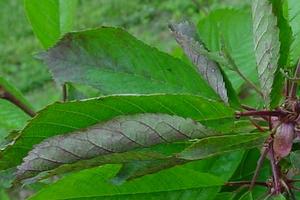 Почему скручиваются листья у огурцов – 8 возможных причин