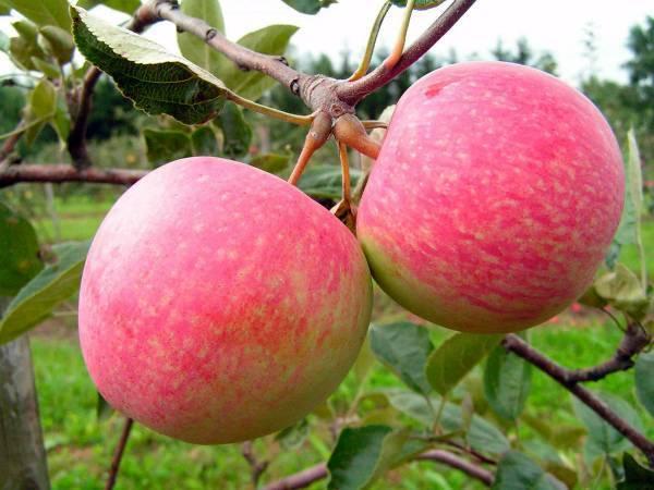 О яблоне Грушовка Московская: описание и характеристики сорта, посадка и уход