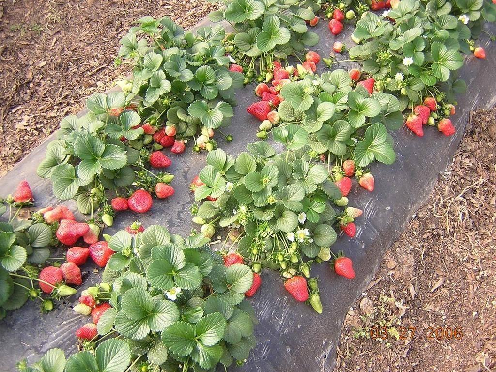 Выращивание клубники «королева елизавета»: описание сорта
