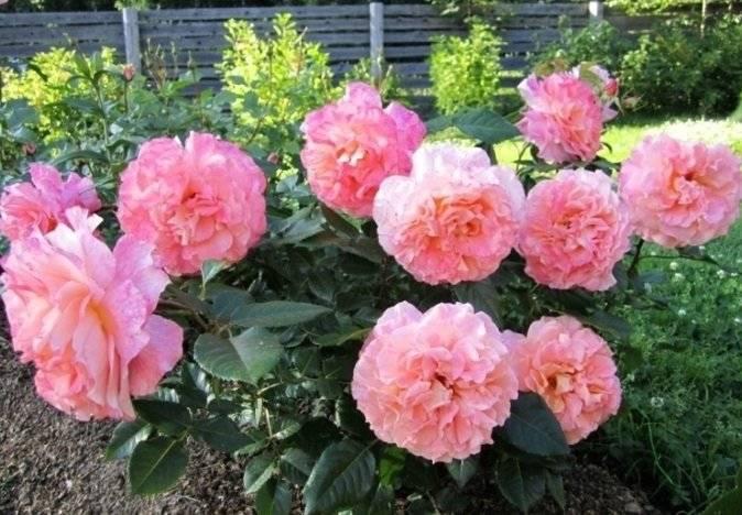 Роза августа луиза (augusta luise): описание сорта, фото, отзывы, посадка и уход