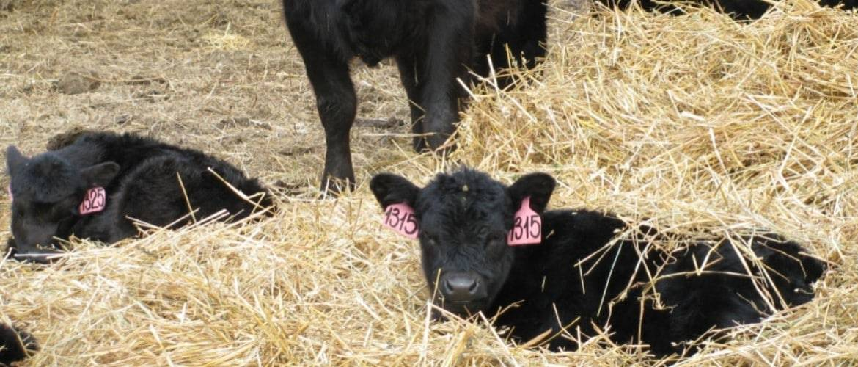 Сено для коров: виды, правила подбора и хранения