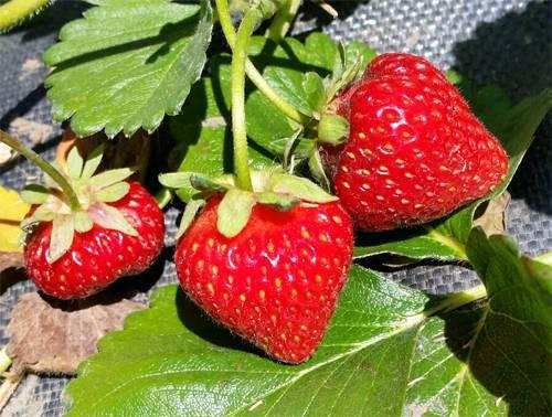 Особенности выращивания клубники «альбион» на приусадебном участке