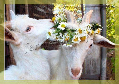 Особенности содержания коз на частном подворье