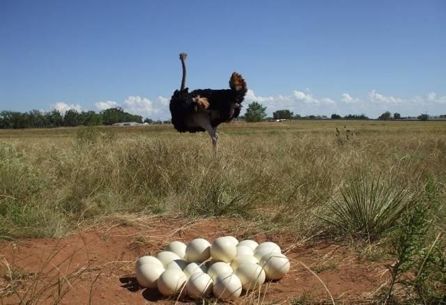 Яйцо страусиное - описание, состав, калорийность и пищевая ценность - patee. рецепты