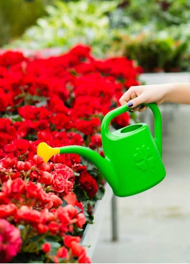 Уход за бегонией зимой в домашних условиях: почему бегония вянет в горшке? как правильно обрезать и как зимует растение?