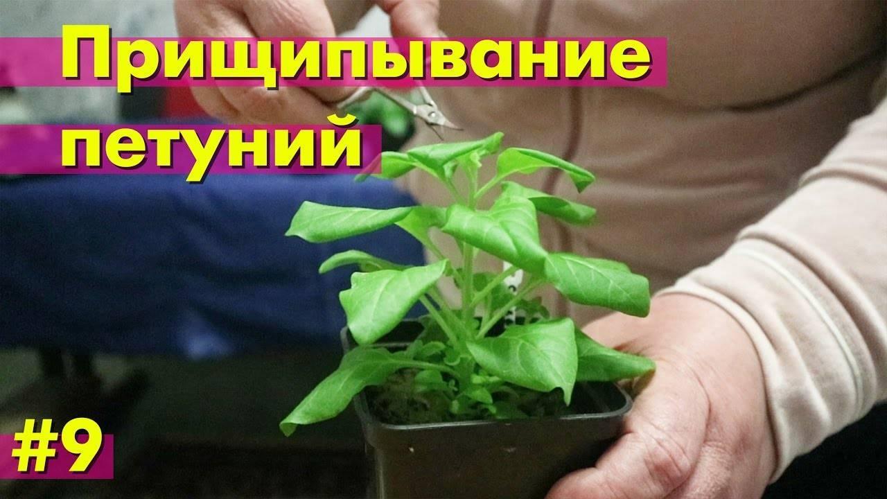 Когда и как правильно прищипывать петунию, пошаговая инструкция