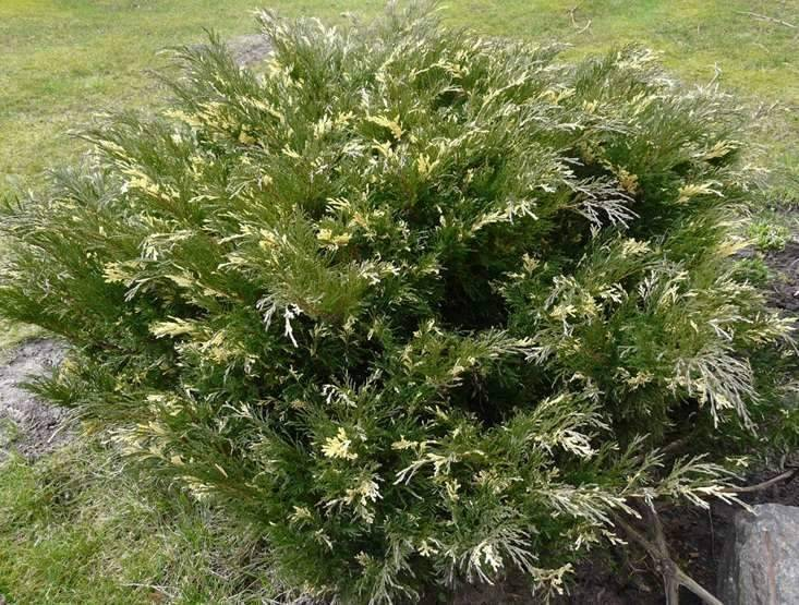 О можжевельнике Вариегата: описание сорта, как посадить и ухаживать за растением