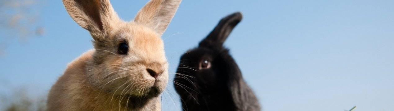 Как лечить коросты в ушах у кролика? - общая информация - 2020