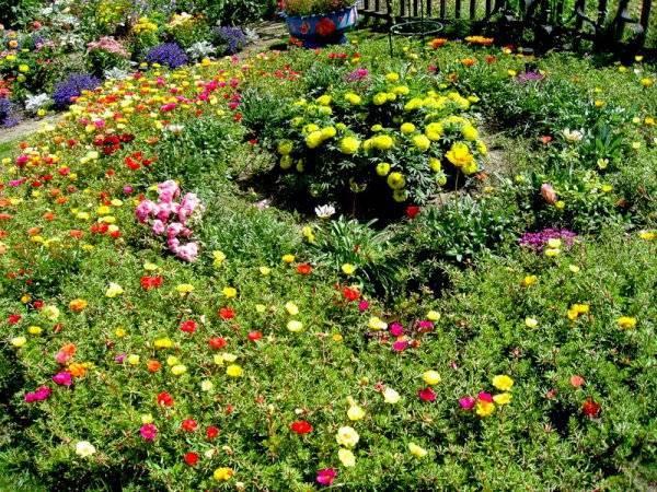 Портулак махровый - выращивание из семян, уход и пикировка, сроки посева