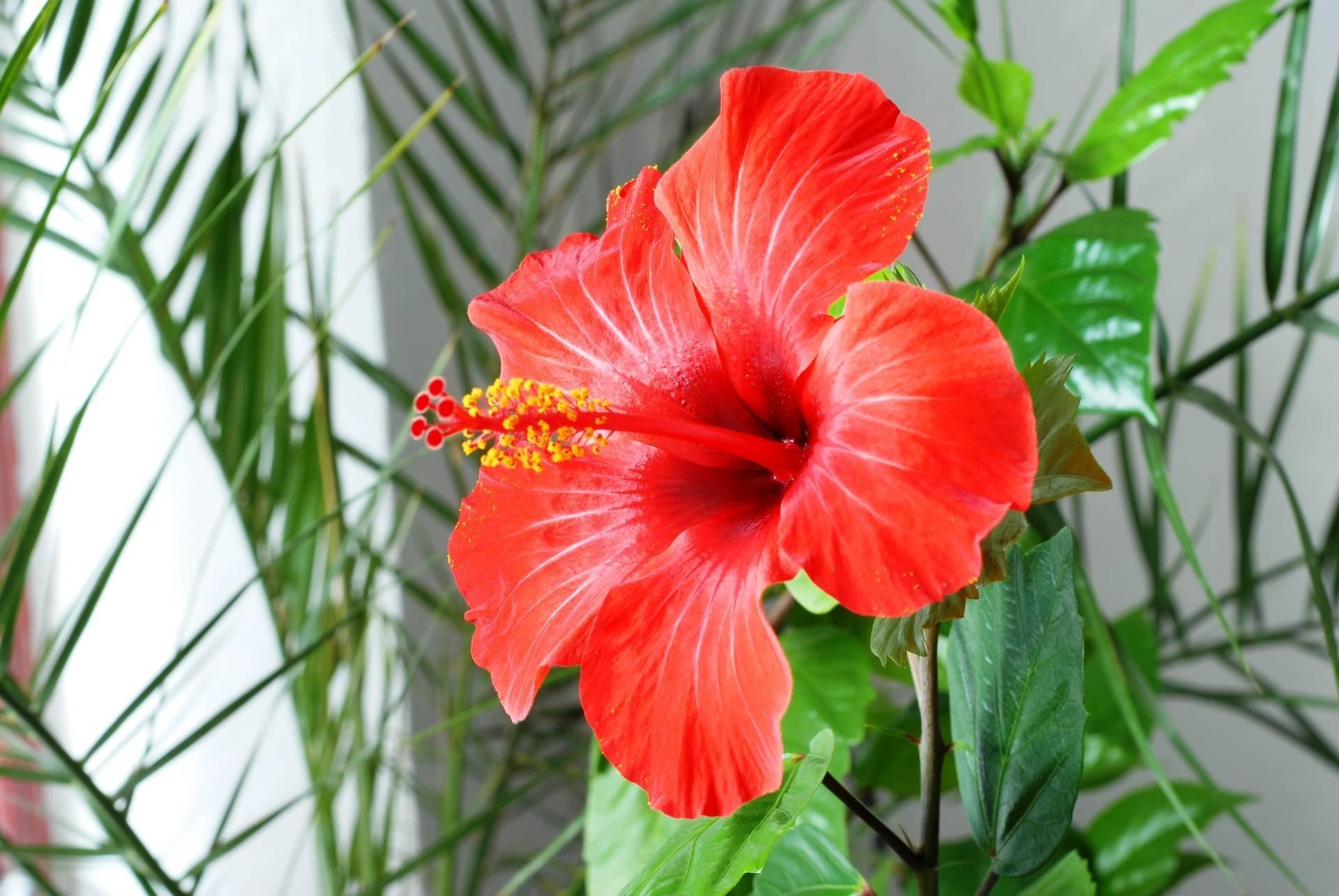 Почему китайскую розу нельзя держать дома: приметы и факты о гибискусе