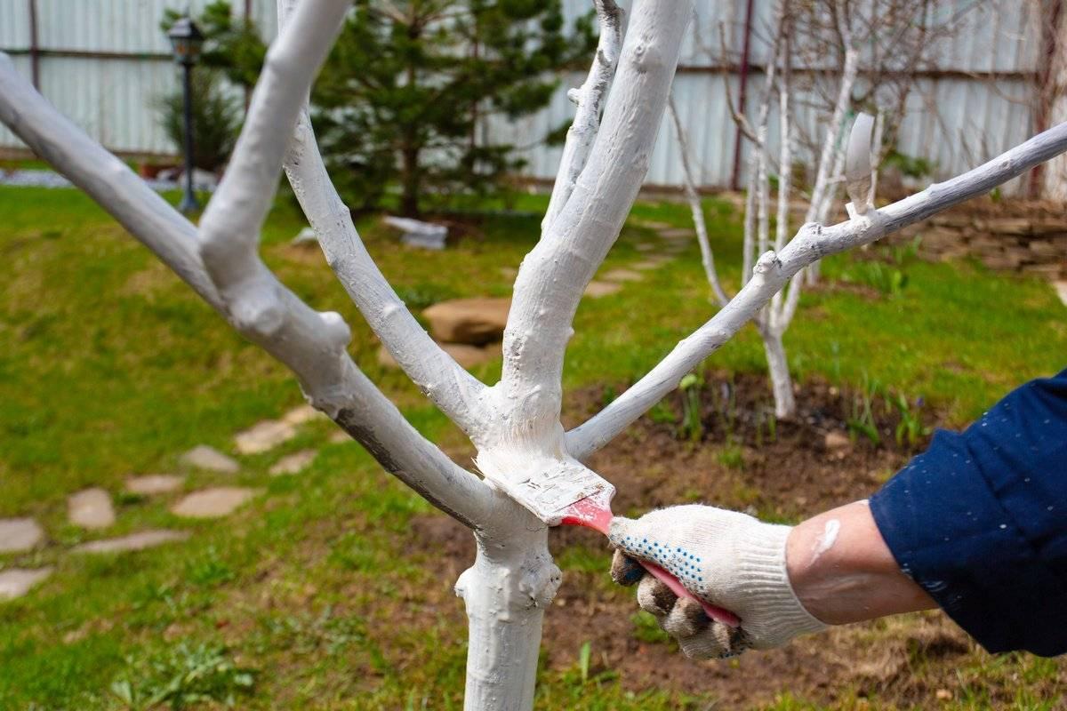 Чем побелить яблони осенью. предназначение осенней побелки