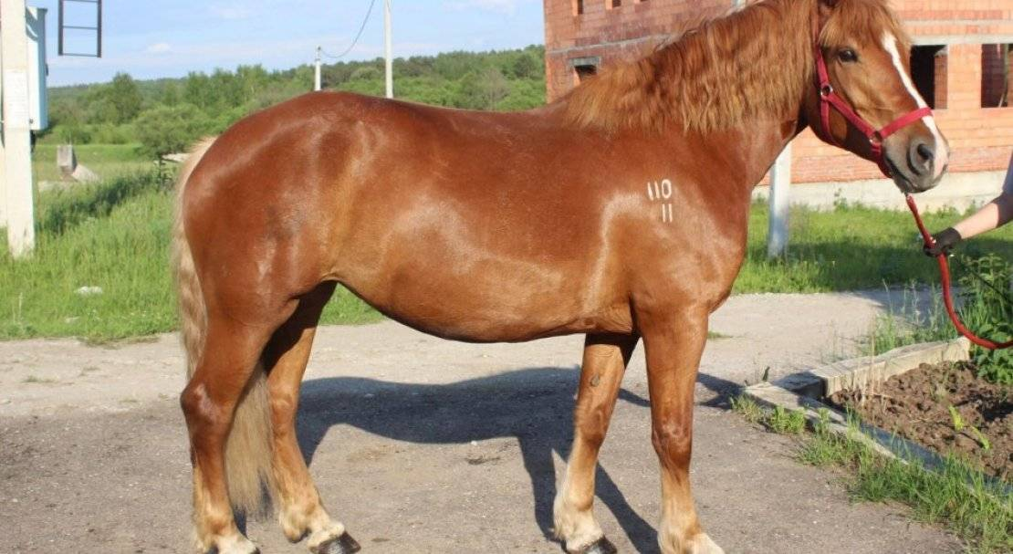 Лошади тяжеловозы: породы, их фото и описание