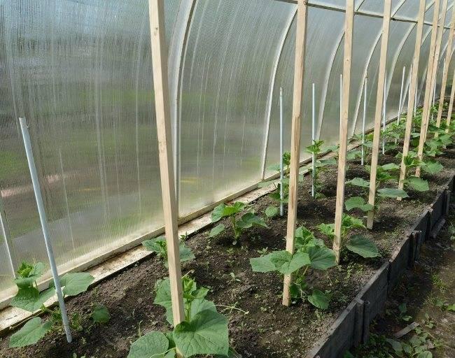 Как рассчитать сроки когда сажать огурцы на рассаду? советы и рекомендации, примерные периоды высадки семян, как правильно это делать
