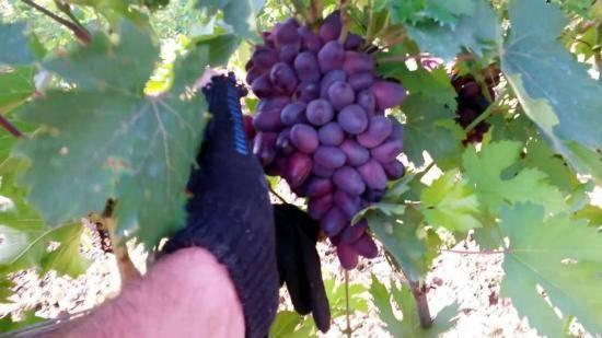 Описание винограда сорта «красотка»: характеристики, фото, отзывы садоводов