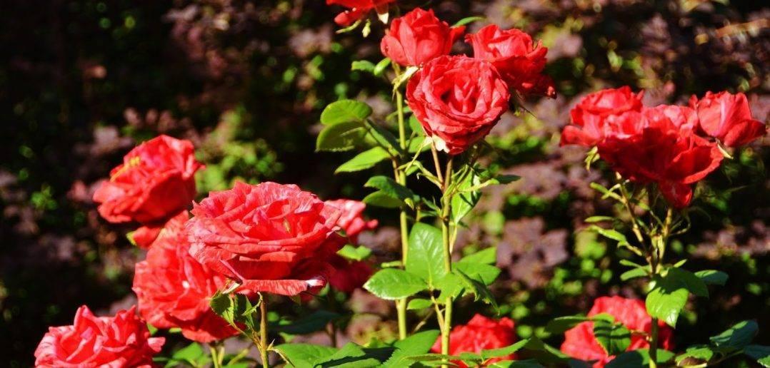 Как и когда пересаживать розы? когда можно пересаживать розы и как правильно это делать? как лучше пересадить розу которая уже цвела