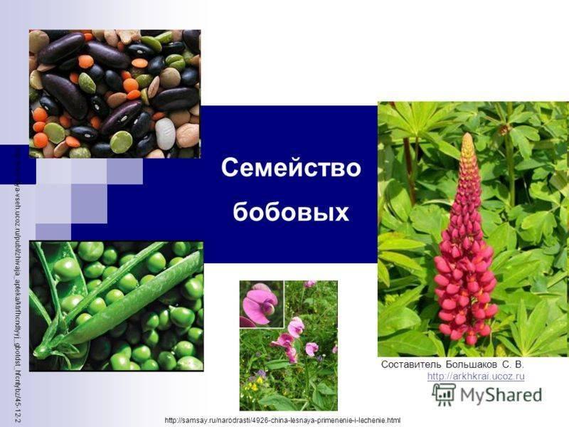 Бобовые культуры: список растений с фото