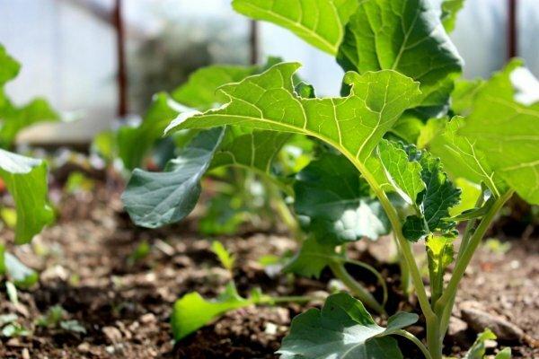 Как выращивать капусту брокколи самостоятельно и чем она полезна?