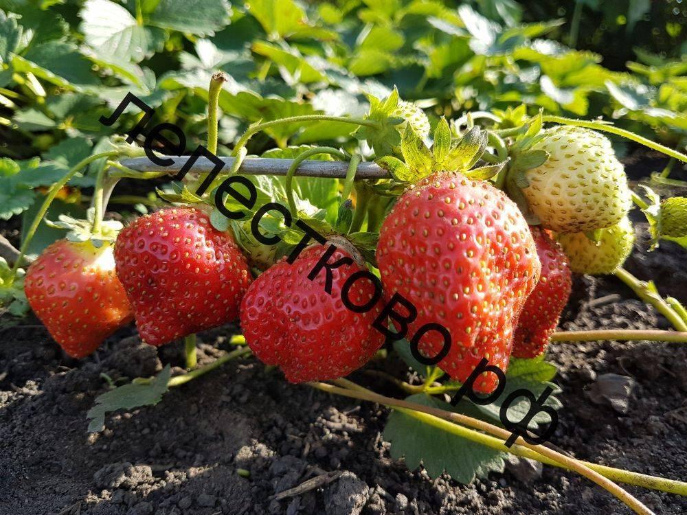 Характерные особенности сорта клубники маршал — посадка и выращивание