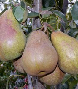 Характеристика осеннего элитного сорта груши брянская красавица