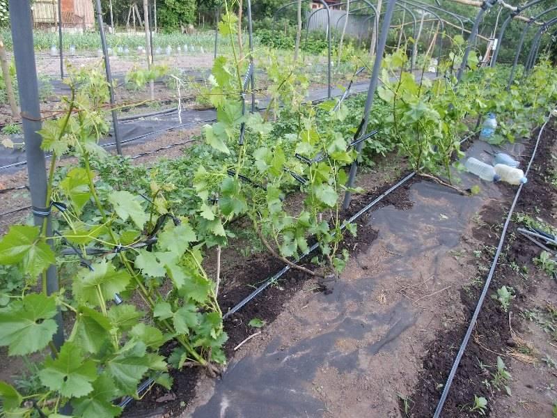 Как вырастить виноград?