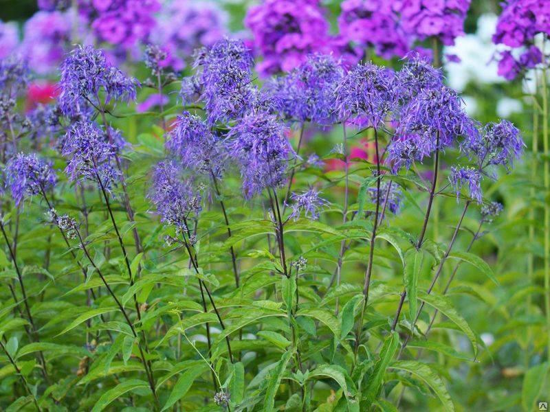 Флоксы метельчатые: выращивание из семян