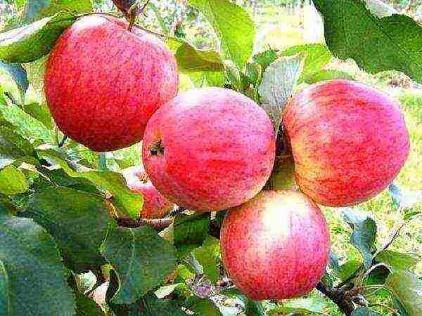 Универсальная зимняя яблоня айнур