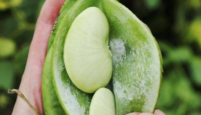 Что такое горох? описание, виды и сорта, особенности выращивания