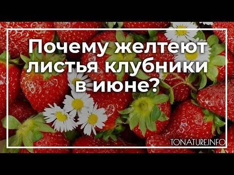 Почему краснеют листья у клубники? что делать, если у клубники краснеют листья? | красивый дом и сад
