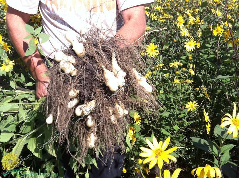 Топинамбур: посадка и выращивание