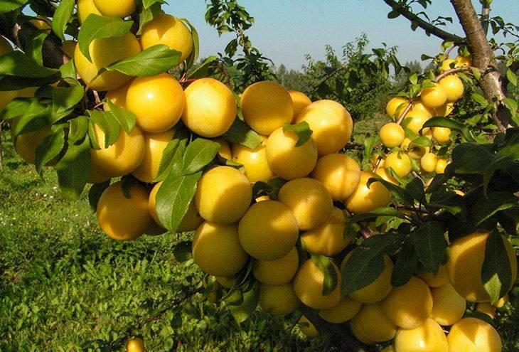 Описание сорта слив желтая медовая и уход за деревом