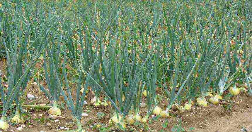 Посадка лука севка весной - пошаговая инструкция, фото + видео