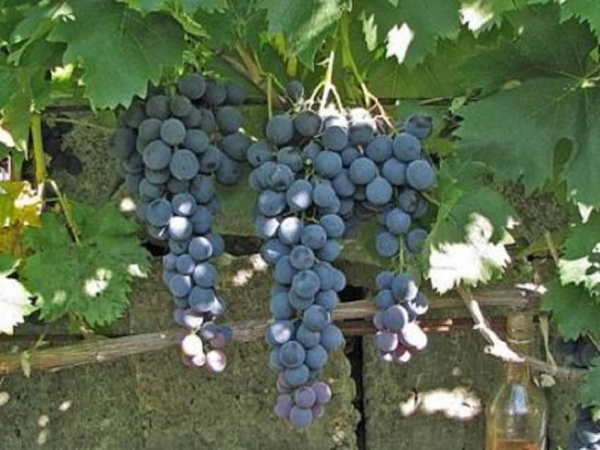 Виноград страшенский: особенности сорта, 10 советов по посадке и уходу