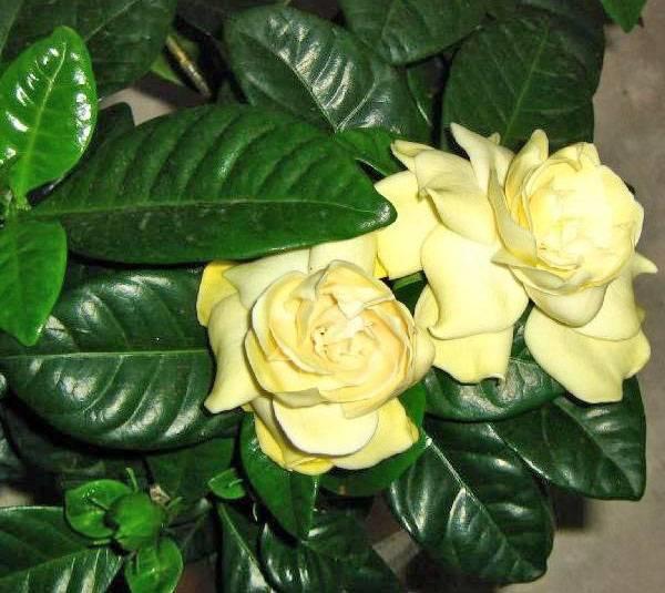 Как ухаживать за горденией жасминовидной: выращивание и размножение дома