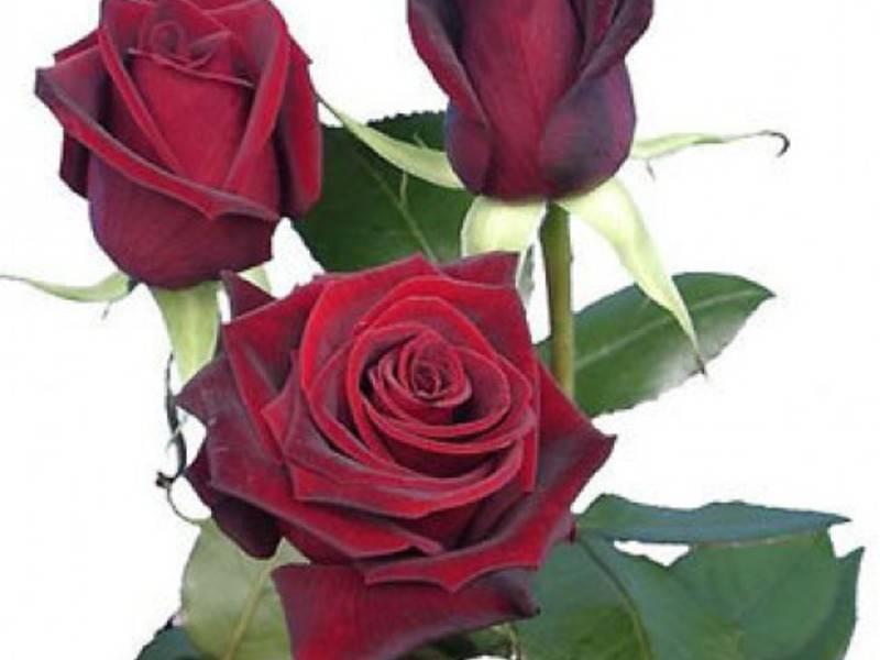 О розе чайно гибридной Черная магия (Black magic): описание и характеристики