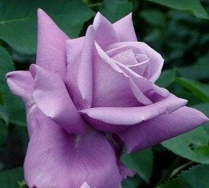 Роза чг илиос — солнце в бутоне