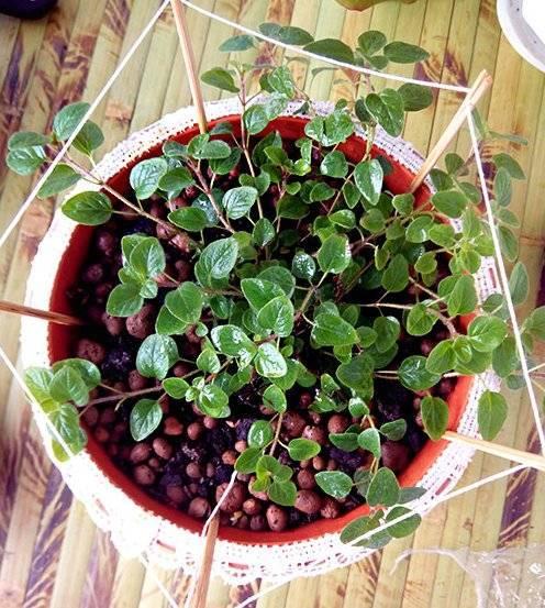 Выращивание душицы и уход за ней