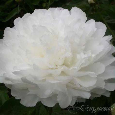 Пиона сара бернар — описание сорта и разновидности