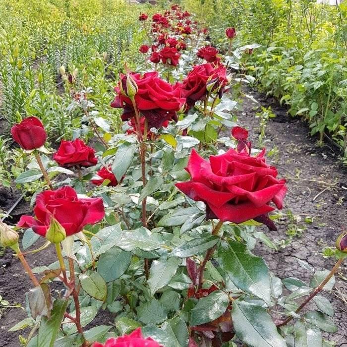 Роза «черная магия» – основные характеристики, правила посадки, ухода, размножения и пересадки