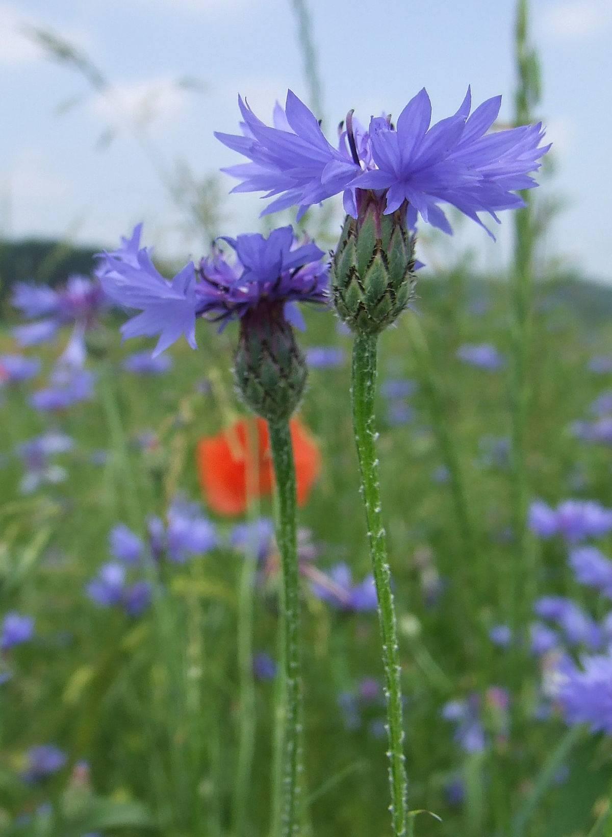 Василек: виды с описаниями и фото - синий, белый, горный, желтый. садовый василёк - размножение, выращивание и уход.