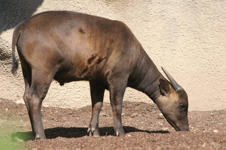 Карликовые или мини буйволы. обзор пород, описание с фото и видео