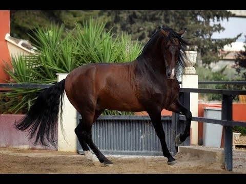 Все о королевской андалузской породе лошадей