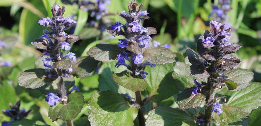 Живучка ползучая: сорта, посадка растения и уход за ним