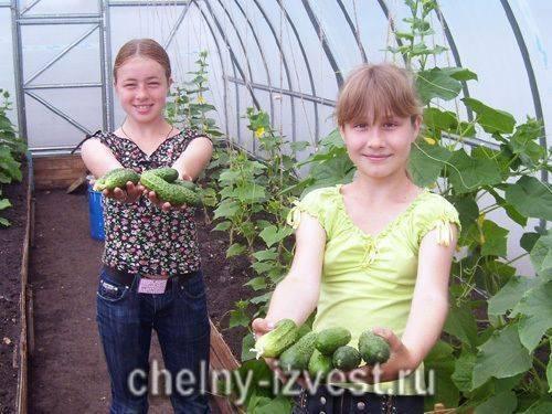 Как увеличить урожай огурцов в 1,5-2 раза